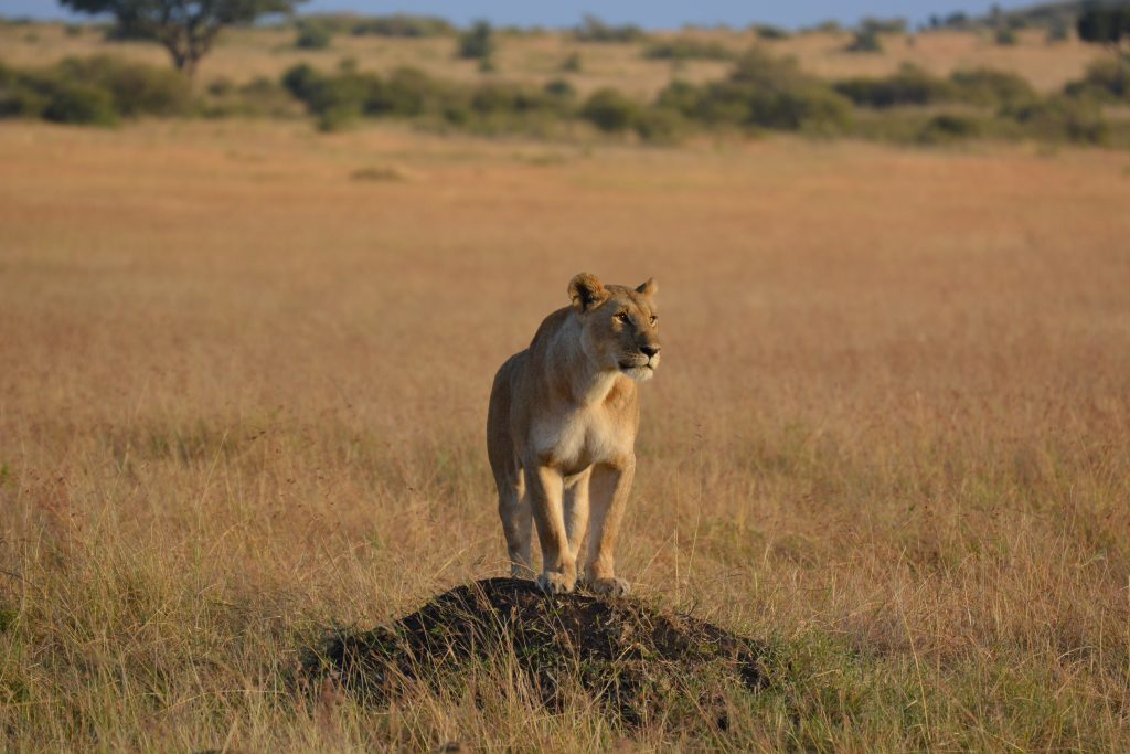 Kenya lion masai mara