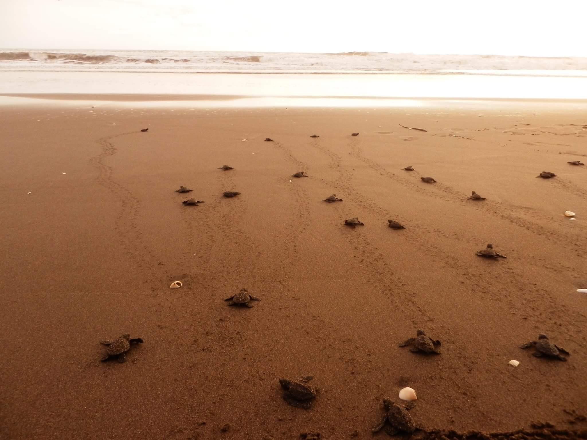 baby turtles in las penitas nicaragua