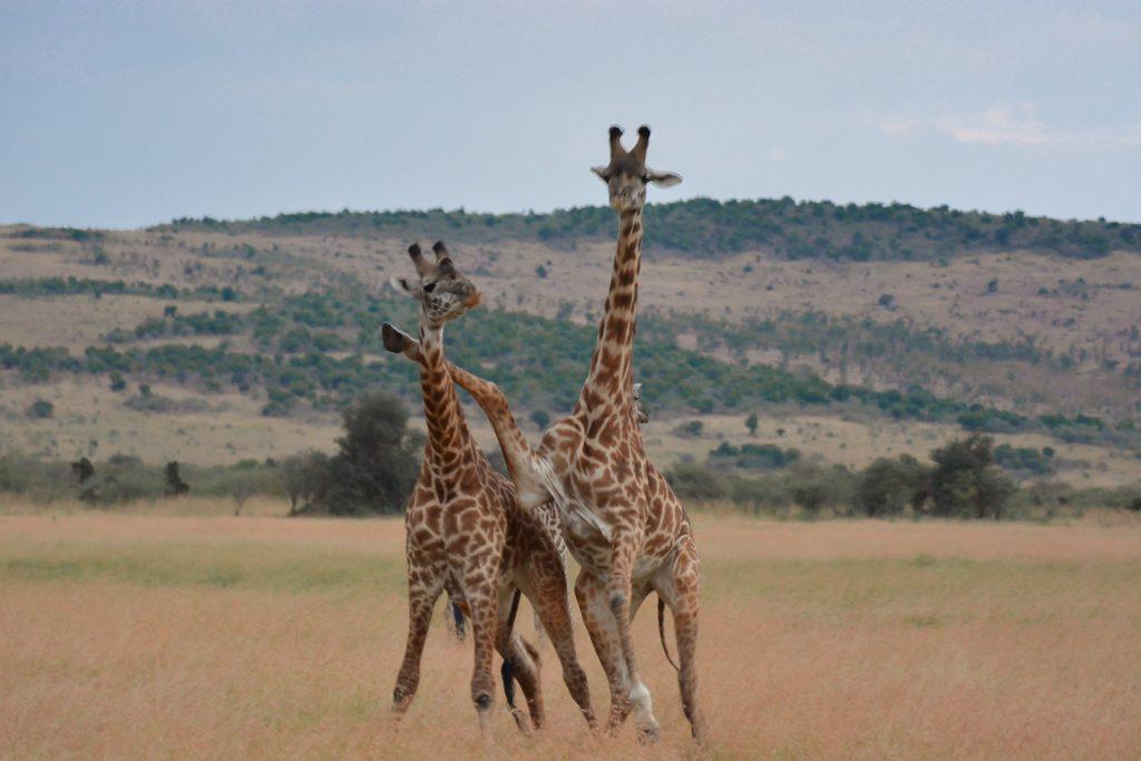 giraffe safari masai mara kenya